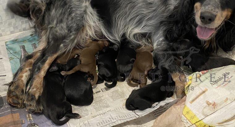 Working Cocker pups. KC Reg – ALL SOLD