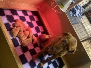 Fox Red Lab pups for sale