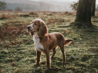 KC registered working cocker pup wanted.