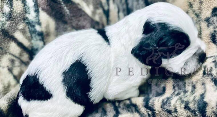 AKC Field Bred English Cocker Pup