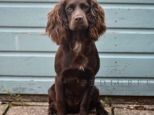 KC Reg Working Cocker Spaniel Female Puppy Wanted