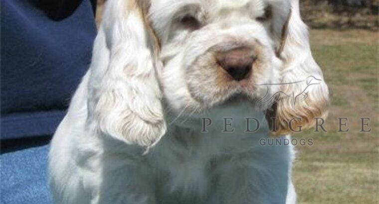 Wanted: KC registered Clumber puppy in E. Anglia