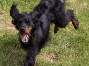 Working Line Gordon Setter Puppies