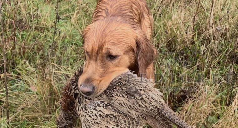KC Dog for Stud