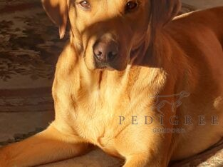FTCH sired FTCH/FTW dam Labrador pup wanted