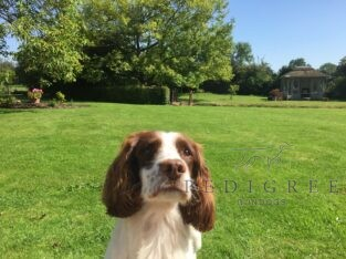 Wanted…a loving spaniel for our 5* family home!!