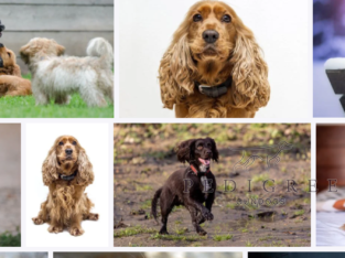 Working cocker puppy wanted