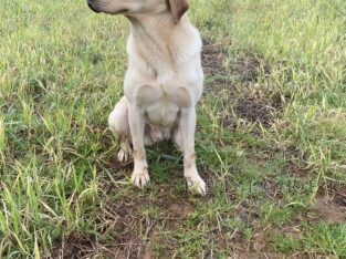 2yr male Labrador part trained