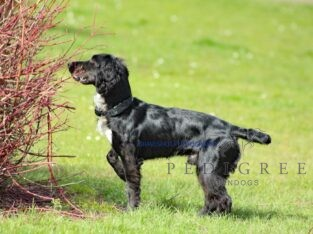 Working cocker for stud proven and health tested