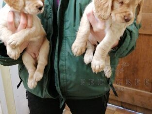 Golden/fox Red cocker pups