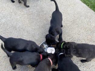 KC registered pedigree black Labrador bitch pups