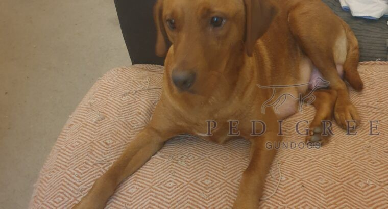 KC 2 year old Labrador Bitch wanted