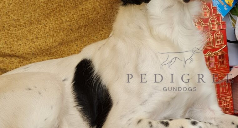 Wanted…a loving spaniel for our 5* family home!