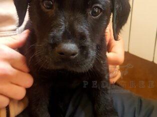 Gorgeous chunky Labrador pups