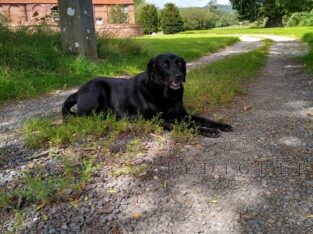 Wanted: Mature or Retired Gundog