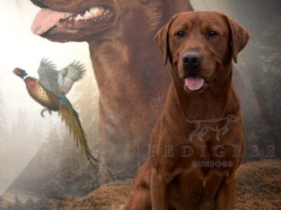 Darkest Fox Red Labrador Stud