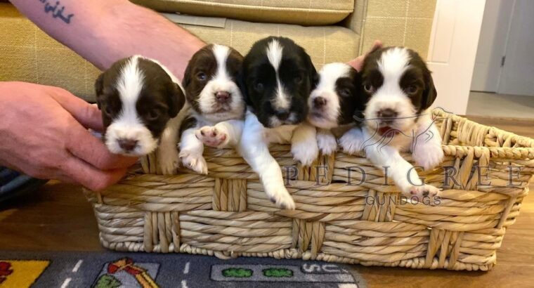 ESS pups for sale