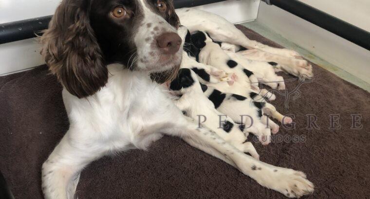 Working springer spaniel puppies