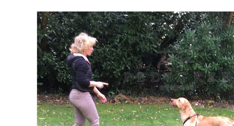 Handsome Athletic Pedigree Labrador For Stud
