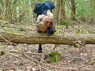 Part Trained Cocker Spaniel Dog