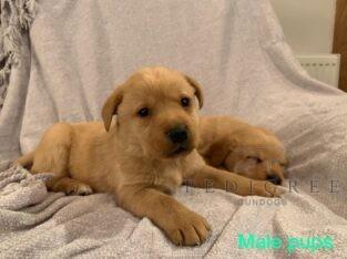 Stunning KC Fox Red Pups