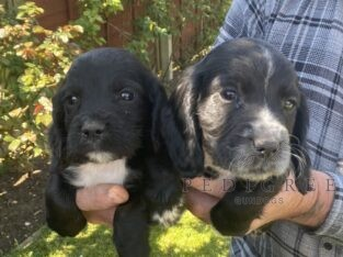 KC Reg Working Cocker pups