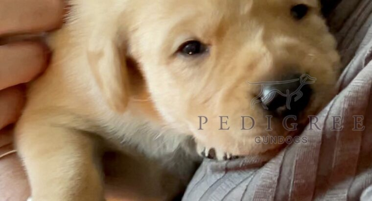 Gorgeous yellow male Labrador puppy for sale