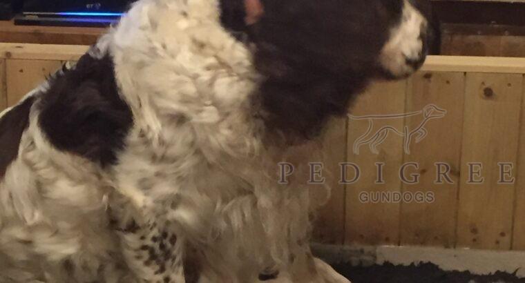 English Springer xClumber/Springer Spaniel Puppies