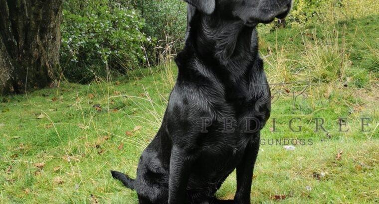 Health tested stud dog