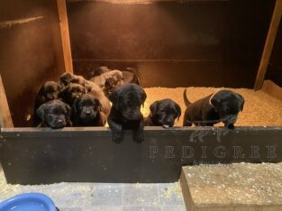 KC Black Labrador Puppies