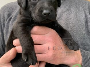 Beautiful black Labrador puppies for sale