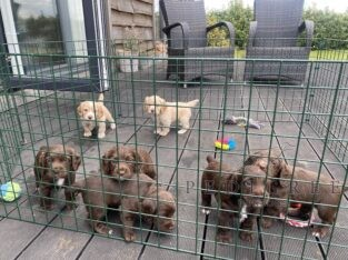 KC Reg Working Cocker puppies