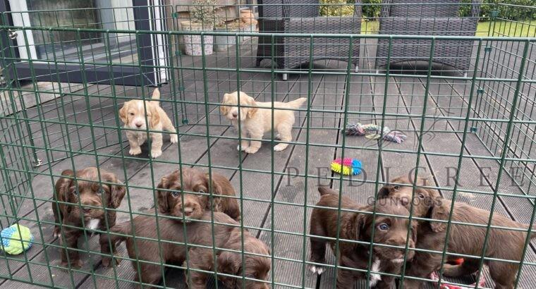KC Reg Working Cocker puppies