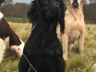 Trained 2 half year cocker bitch KC reg