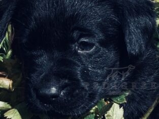 2 black Labrador pups male