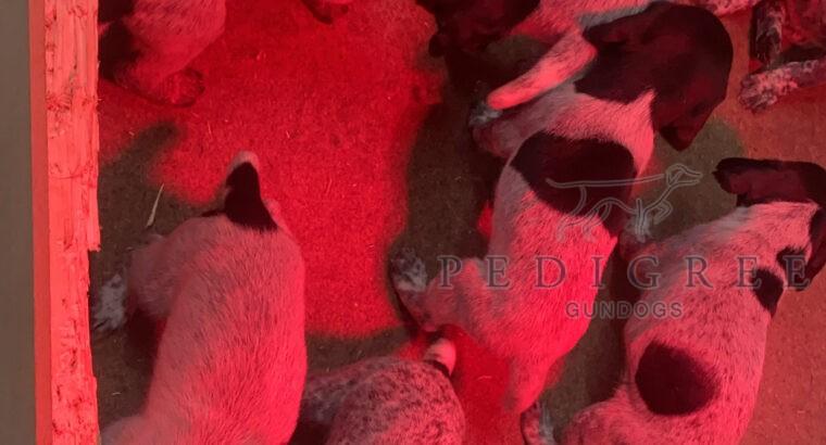 KC Reg Working GWP puppies
