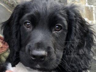 Black dog pup sire FTCh Kiltonbeck Rollo