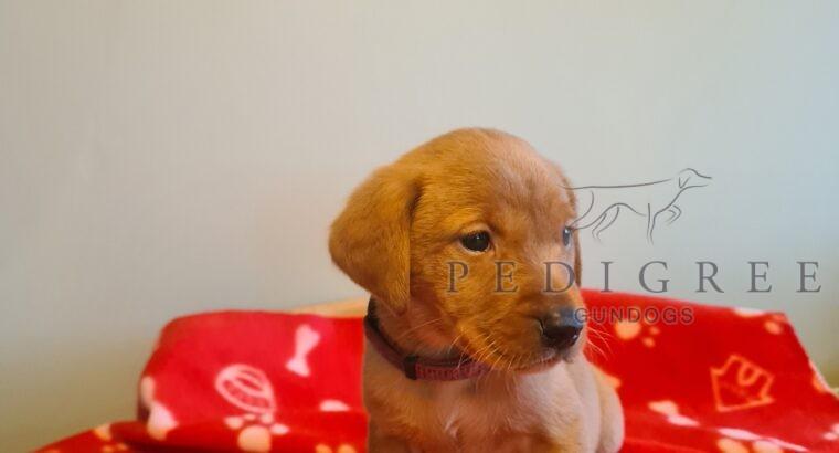 3x Labrador Puppies Left From Working Gundogs