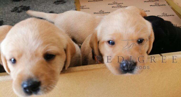 Fabulous Labradors KC REG with many ftch