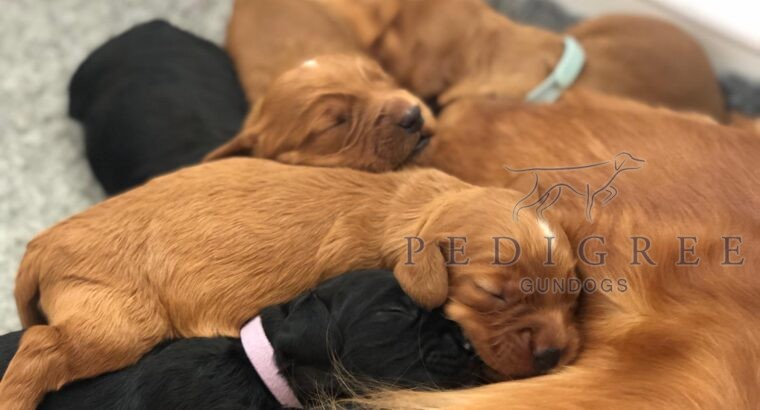 KC Health Tested Working Cocker Puppies