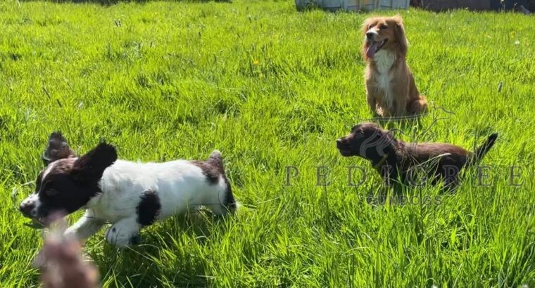 KC Registered Working Cocker Spaniel Puppies Maesy