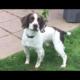 K.C. Reg English Springer Spaniel Pups