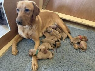 Fox Red Labrador Puppies for sale