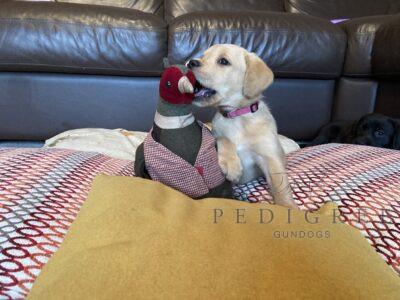 Outstanding FTCH Working Labrador Retrievers
