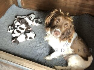 K.C. Reg. English Springer Spaniel puppies