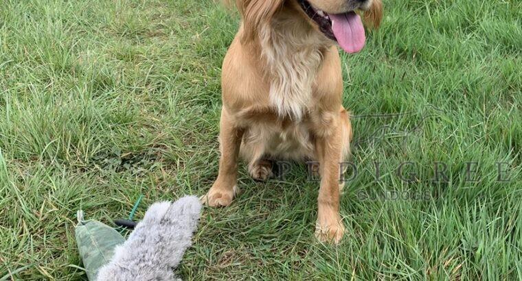 Golden Cocker Puppies for sale