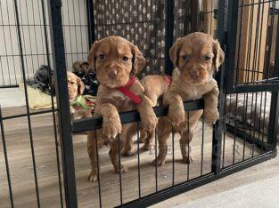 KC Registered Working Cocker Spaniel Puppies