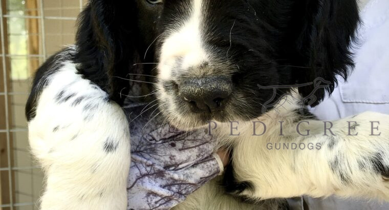 Beautiful B & W Male ESS puppy available.