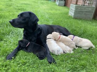 Top Quality FTCh sired Labrador puppies