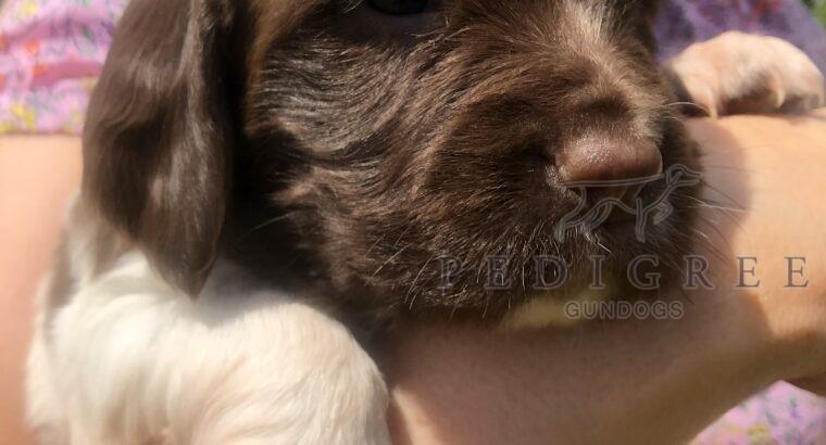 K.C. Reg. English Springer Spaniel pups